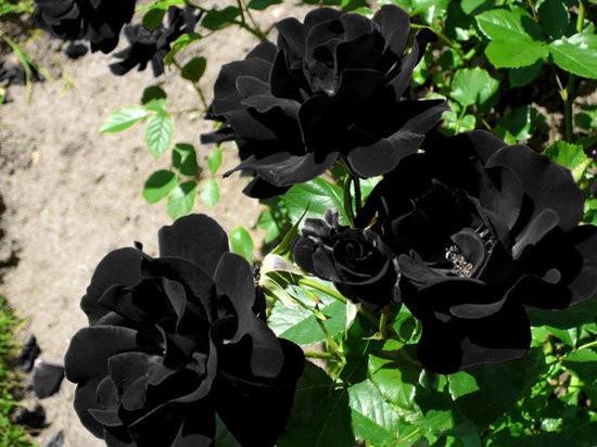 Hoa hồng đen nửa triệu đồng/bông vẫn hút khách dịp 20/10 - 2