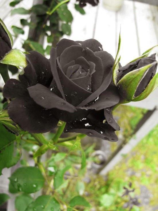 Hoa hồng đen nửa triệu đồng/bông vẫn hút khách dịp 20/10 - 3