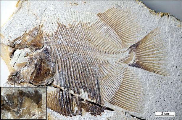 Di cốt hóa thạch của loài cá lạ - Ảnh từ M. Ebert và T. Nohl