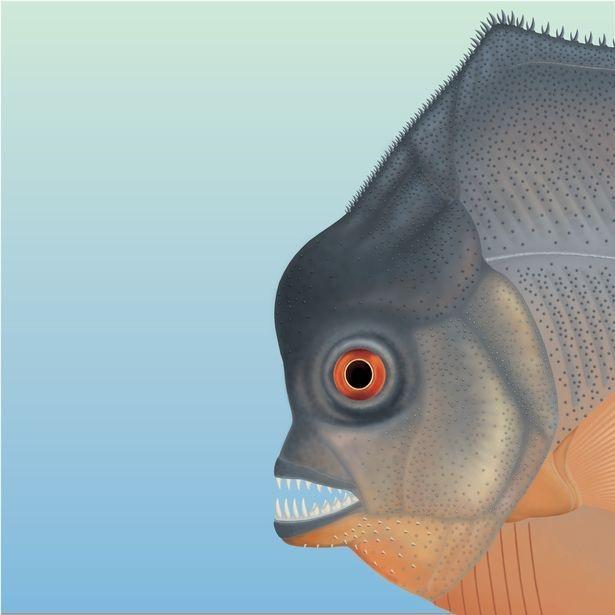 Loài cá này có bộ răng giống cá piranha - Ảnh từ Bảo tàng Jura, Eischstatt, Đức