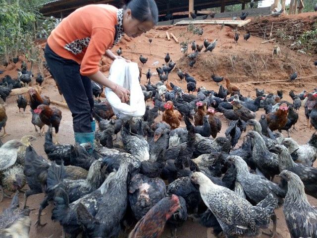 Gà đen là đặc sản địa phương nên được rất nhiều người tiêu dùng ưa chuộng, hiện có giá bán trên thị trường  150.000 đồng/kg.