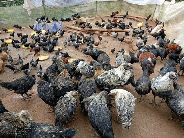 Nhờ cách chăm sóc khoa học và bài bản, đàn gà đen của anh Linh phát triển rất tốt và ít dịch bệnh.