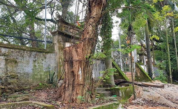 Một trong hai cây sưa trong khuôn viên chùa Phụ Chính