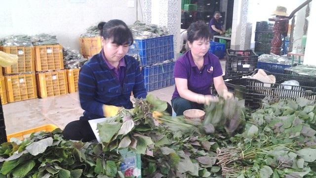 Sơ chế rau tại HTX Nông nghiệp Phước Thịnh (Cần Giuộc, Long An). Ảnh: T.Đ