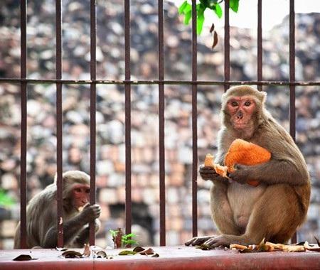 Từng có nhiều trường hợp bị khỉ tấn công rồi tử vong một cách đau lòng