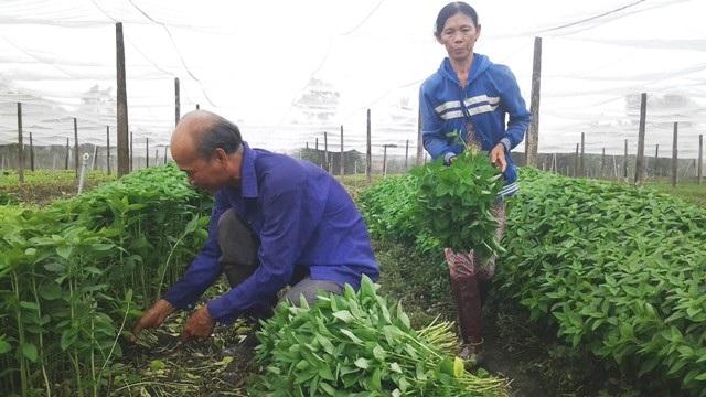 Ông Lê Văn Giấy–Chủ tịch HĐQT HTX Rau Mười Hai, thu hoạch rau tại HTX.