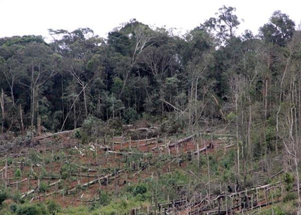 Nhiều vạt rừng bị phá trắng do buông lỏng quản lý