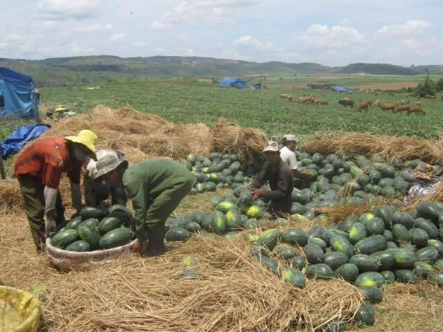 Nông sản Việt Nam liên tục bế tắc đầu ra khi bị Trung Quốc từ chối
