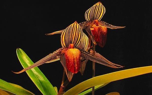 Chiêm ngưỡng loài hoa lan 136 triệu đồng/cây - 4