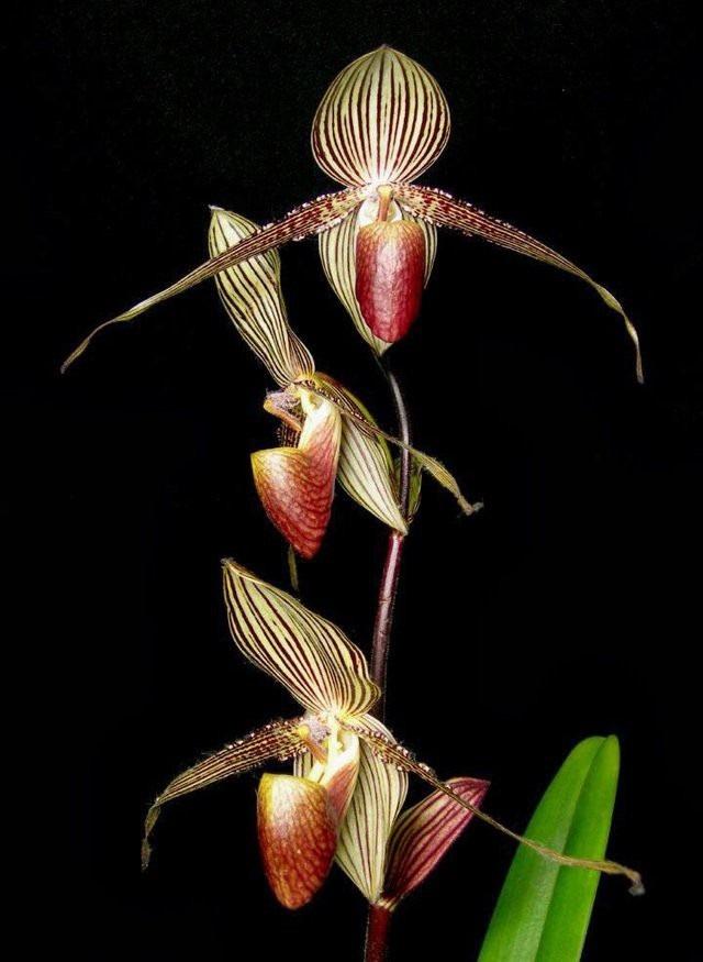 Chiêm ngưỡng loài hoa lan 136 triệu đồng/cây - 5