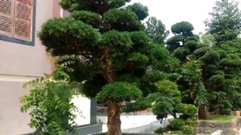 Một số cây trong vườn cây Tùng Nhật của đại gia ở Trà Vinh có giá hơn 2.000 tỷ đồng.