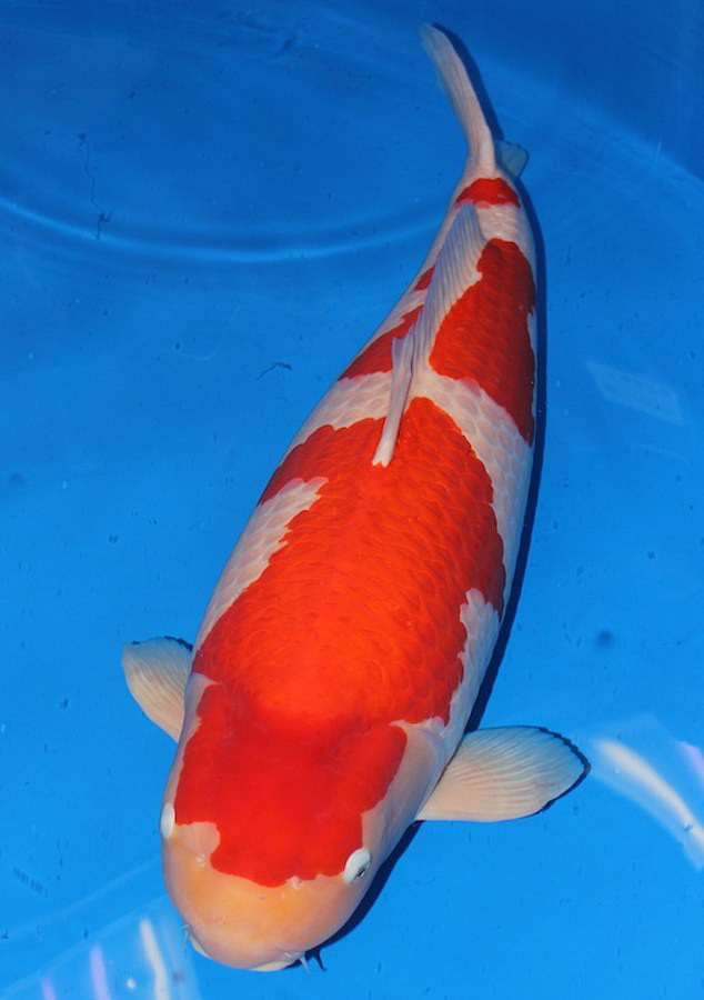 Chú cá Koi 9 tuổi, thuộc giống Kohaku. (Nguồn: Daily Mail)
