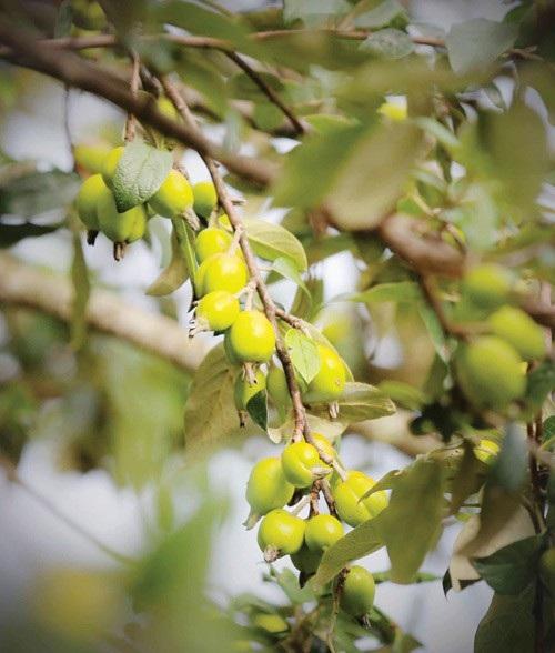 Xím Vàng xôn xao mùa táo chín - 4
