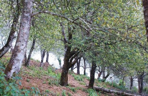 Xím Vàng xôn xao mùa táo chín - 5