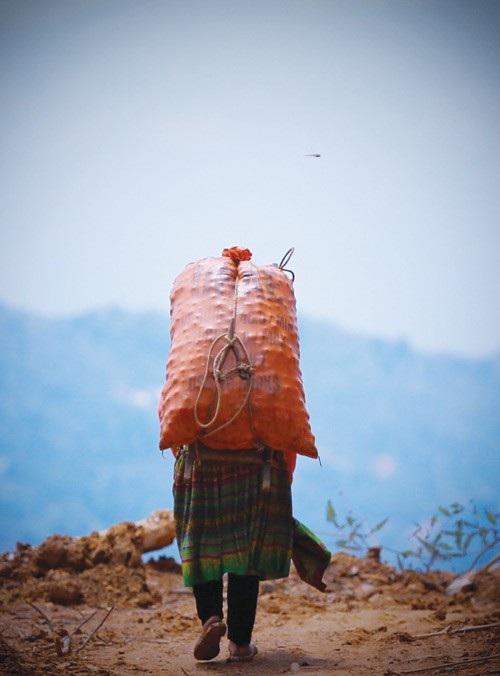 Gùi táo mèo vừa hái từ rừng ra trên lưng một người phụ nữ dân tộc Mông.