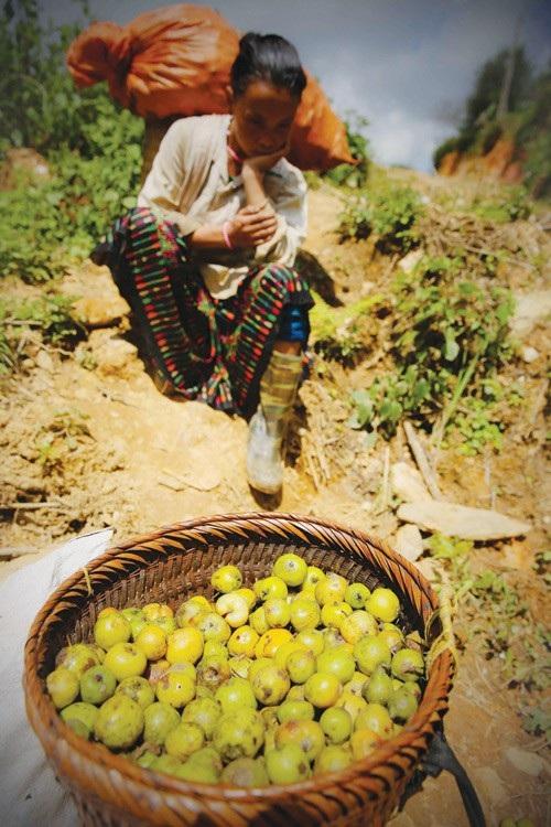 Xím Vàng xôn xao mùa táo chín - 2