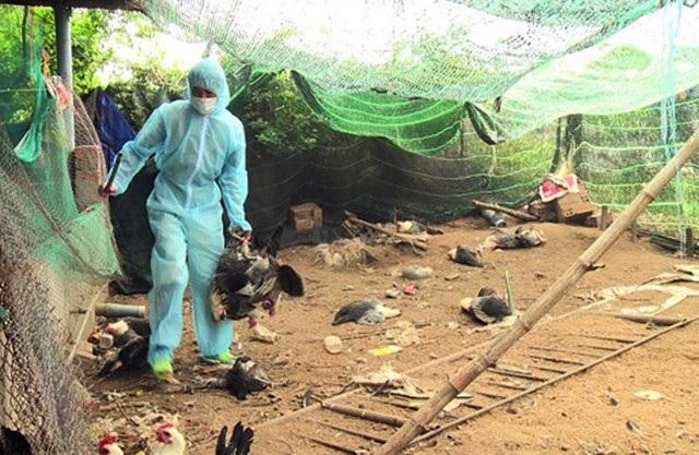 Công bố không còn dịch cúm gia cầm A/H5N6 ở Phú Yên - 1
