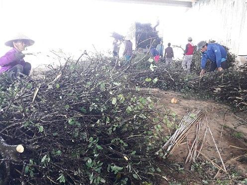 Người dân vùng ven Quảng Nam đang ồ ạt đi chặt cây dó liệt về bán.