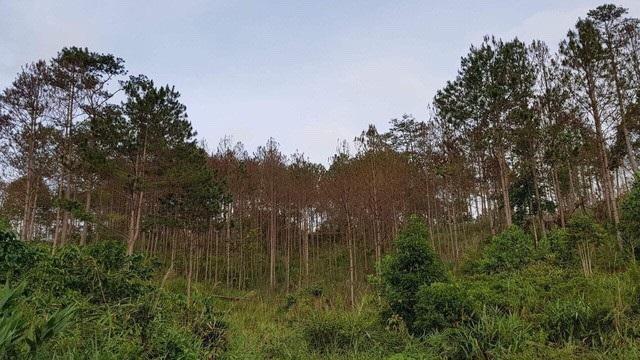 Một vạt rừng thông ở Lâm Đồng bị các đối tượng đầu độc khiến cây héo úa và chết dần