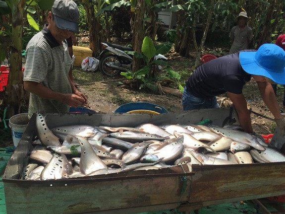 Thu hoạch cá thát lác cườm đặc sản tại ao của gia đình anh Phạm Lâm Em, khu vực V, phường Ngã Bảy, thị xã Ngã Bảy, tỉnh Hậu Giang.