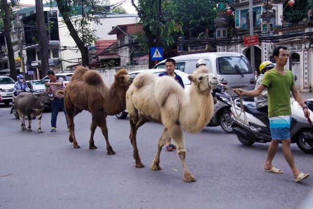 Những chú lạc đà mới được nhập từ nước ngoài về Rạp Xiếc Trung ương (Hà Nội) được các diễn viên dắt đi dạo trên đường phố khiến nhiều người đi đường tò mò, thích thú. (Ảnh: Toàn Vũ)