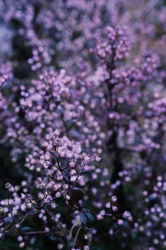 Hoa Chi Pâu có những nụ nhỏ, màu tím pha trắng đẹp mắt, thường nở rộ trong khoảng thời gian cuối thu, đầu đông. Hoa thường mọc thành dải, bạt ngàn phủ kín qua các triền đồi. Ảnh: Hai Le Cao