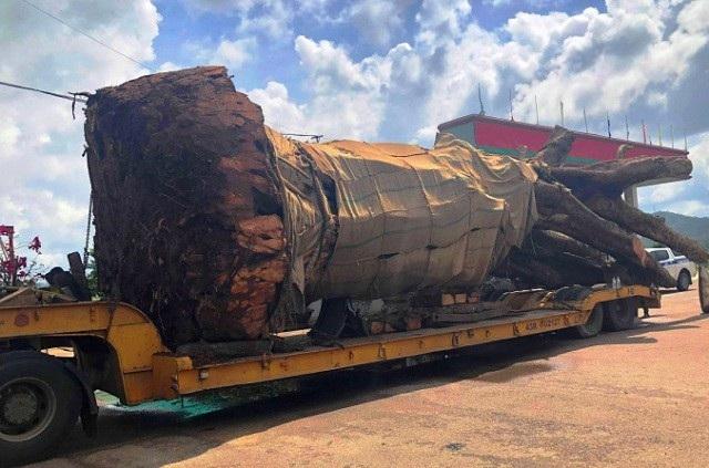 """Vụ chở cây """"siêu khủng"""": Xử phạt 12,5 triệu đồng, buộc cắt bớt ngọn cây - Ảnh 2."""