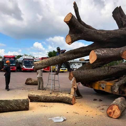 """Vụ chở cây """"siêu khủng"""": Xử phạt 12,5 triệu đồng, buộc cắt bớt ngọn cây - Ảnh 4."""