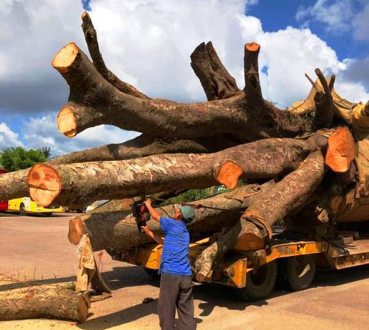 """Vụ chở cây """"siêu khủng"""": Xử phạt 12,5 triệu đồng, buộc cắt bớt ngọn cây - Ảnh 3."""