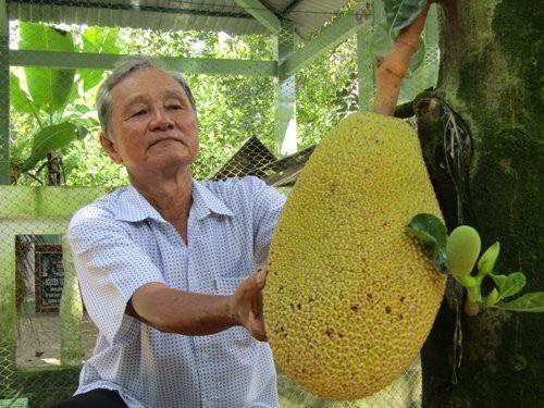 Ông Nguyễn Minh Trắng bên 1 cây mít ruột đỏ trồng trong vườn nhà.