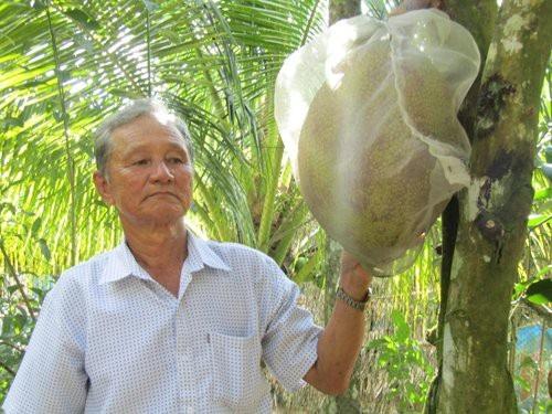 Những trái mít ruột đỏ được ông Nguyễn Minh Trắng bao túi để tránh sâu rầy.