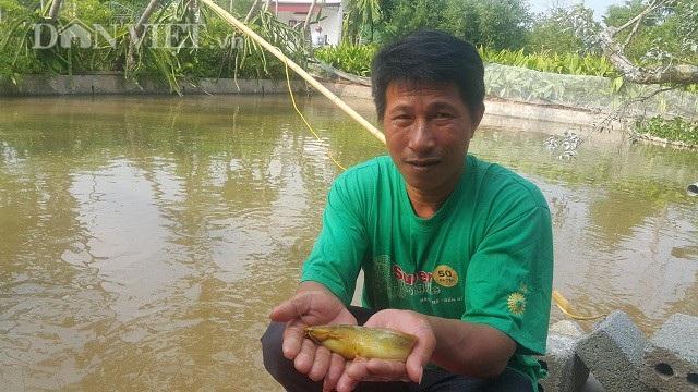Nhờ nuôi loại cá vàng như nghệ mà mỗi năm gia đình anh Trưởng bỏ túi hàng trăm triệu đồng.