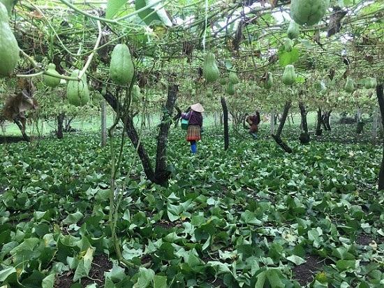 Để su su sai quả, anh Nghĩa thường cắt tỉa bớt lá, để cây đủ chất dinh dưỡng nuôi quả.