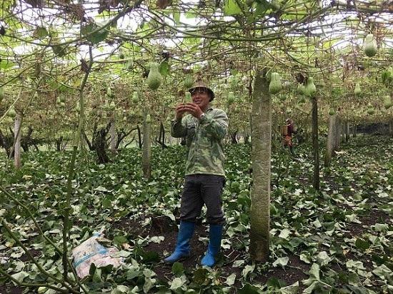 Sau khi tốt nghiệp Trường Đại học kỹ thuật sư phạm Hưng Yên, anh Nghĩa trở về quê trồng su su phát triển kinh tế.