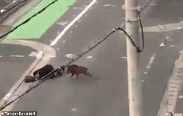 Đang đi làm thì bị lợn rừng tấn công