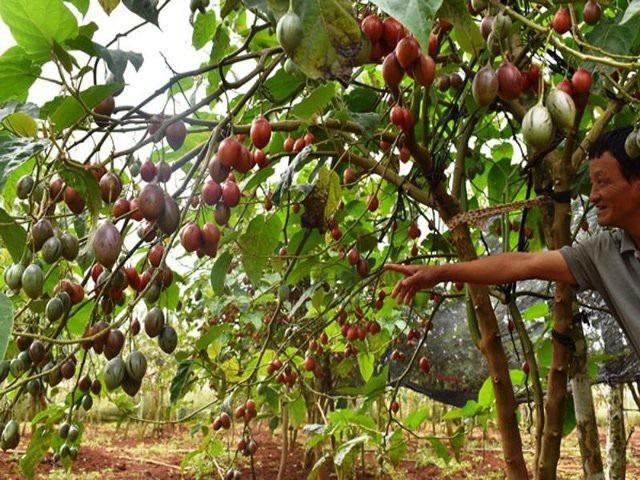 Do không tìm hiểu rõ nhu cầu thị trường nên cà chua thân gỗ đang bế tắc đầu ra, nhiều người phải chặt bỏ