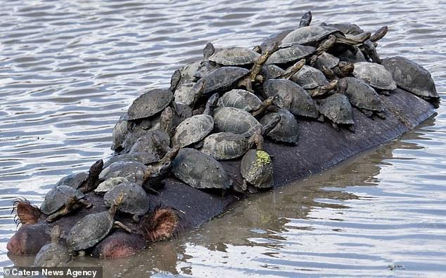 Hà mã chở miễn phí bầy rùa nhỏ qua sông và cho chúng chỗ tắm nắng trên lưng