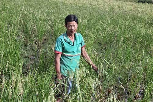 Ông Tuấn bên ruộng đã bán bông lúa non cho thương lái, hiện ruộng này đang lên chét.