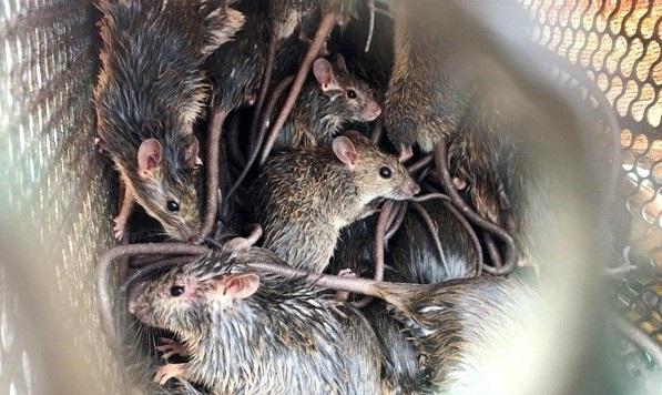 Trung bình mỗi ngày một nhóm săn chuột đồng có thể bắt được 10 - 15 kg chuột. Chuột đồng ăn các loại nông sản nên khá sạch, được nhiều người ưa chuộng. Do vậy, nhiều quán nhậu đặt mua chuột với giá khoảng 80.000 đồng/kg. Với giá này, người tham gia bắt chuột có thể kiếm được khoảng 400 - 500 ngàn đồng mỗi ngày.