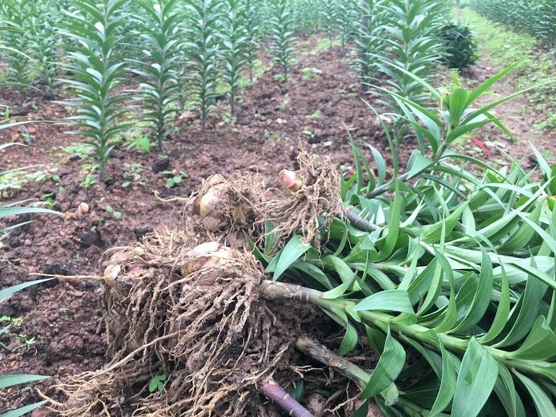 Thời tiết thất thường, nông dân lo mất vụ hoa Tết - Ảnh 6.