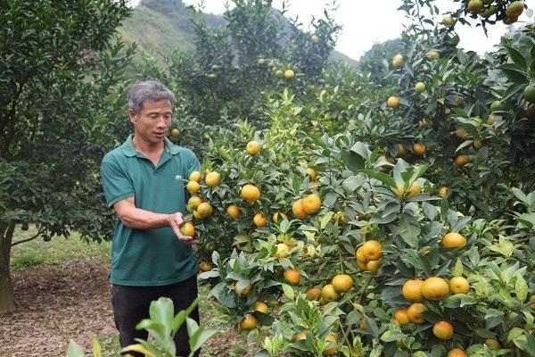 Hàng ngày ông Yên đều lên nương theo dõi và chăm sóc vườn cam Canh.