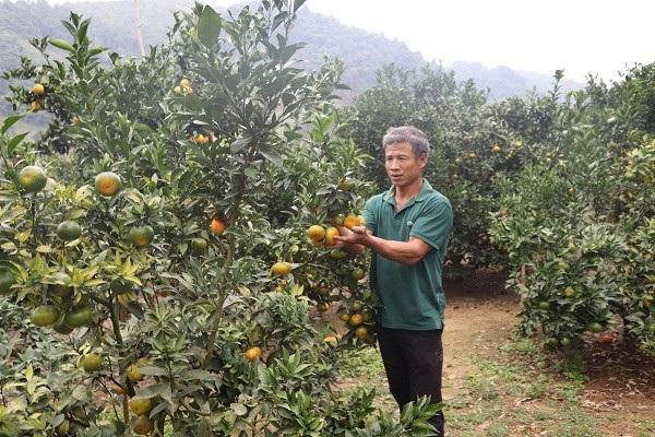 Lãi 250 triệu mỗi năm từ 750 gốc cam Canh trồng trên đất dốc - 3