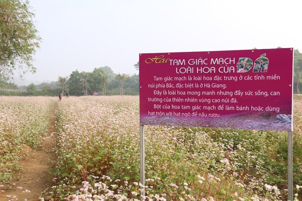 Vườn hoa tam giác mạch 5.000 m2 ở Hà Nội thu hút người tham quan - Ảnh 2.