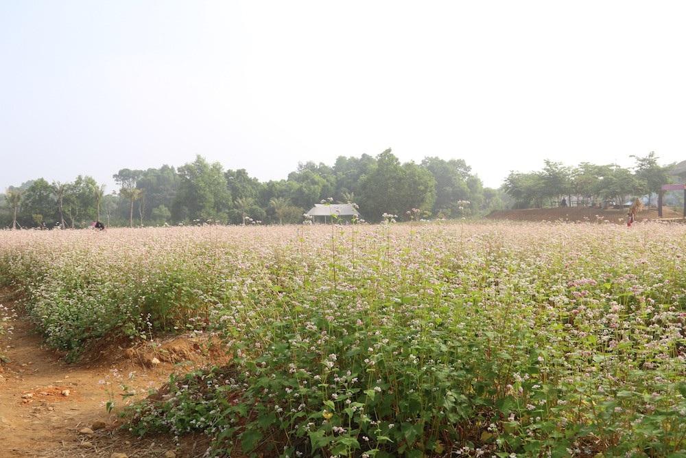 Vườn hoa tam giác mạch 5.000 m2 ở Hà Nội thu hút người tham quan - Ảnh 3.