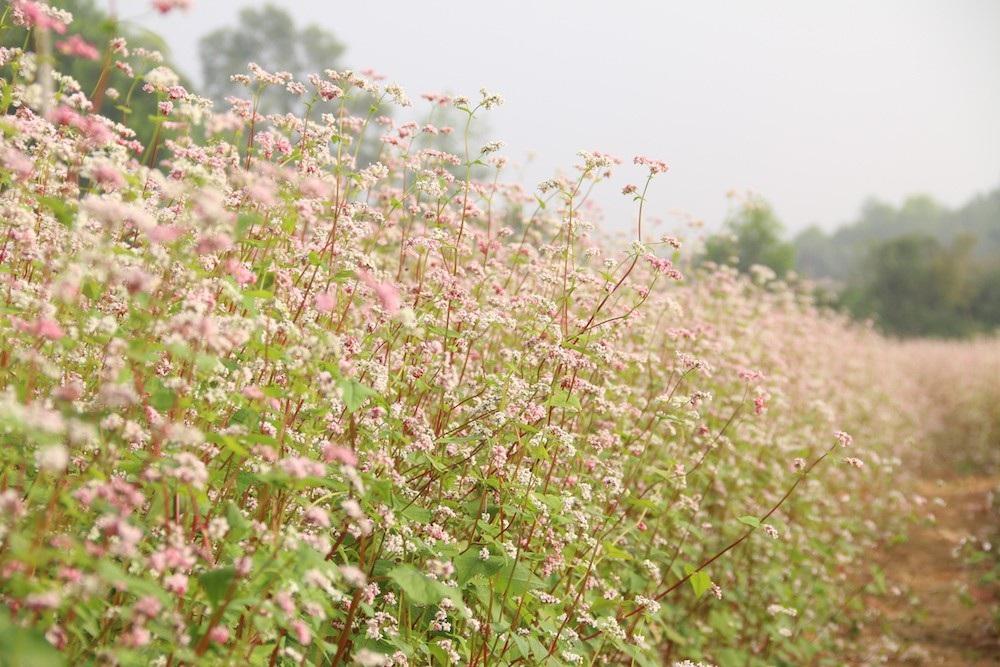 Vườn hoa tam giác mạch 5.000 m2 ở Hà Nội thu hút người tham quan - Ảnh 5.