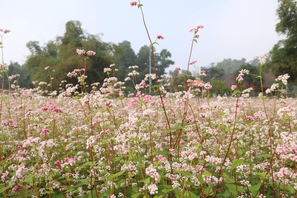 Vườn hoa tam giác mạch 5.000 m2 ở Hà Nội thu hút người tham quan - Ảnh 12.