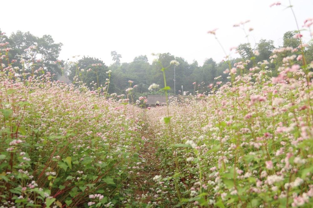 Vườn hoa tam giác mạch 5.000 m2 ở Hà Nội thu hút người tham quan - Ảnh 4.