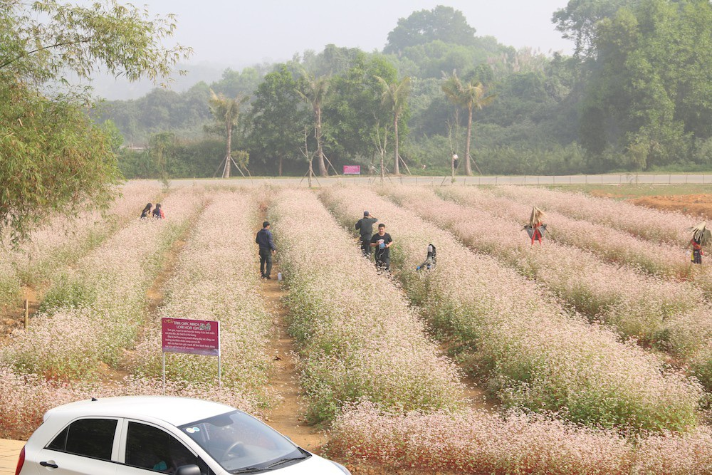 Vườn hoa tam giác mạch 5.000 m2 ở Hà Nội thu hút người tham quan - Ảnh 13.