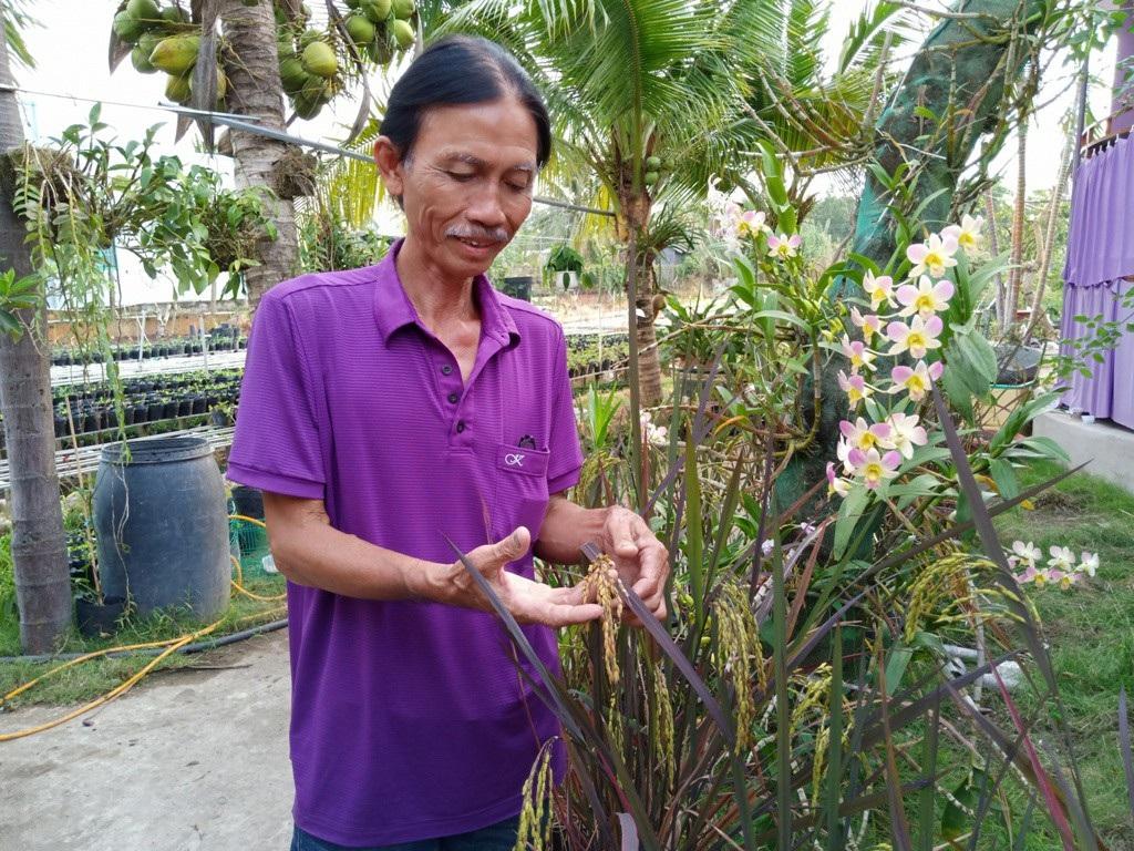 Thầy giáo cất công đưa lúa tím có mùi thơm hoa hồng vào chậu... trưng Tết - Ảnh 1.