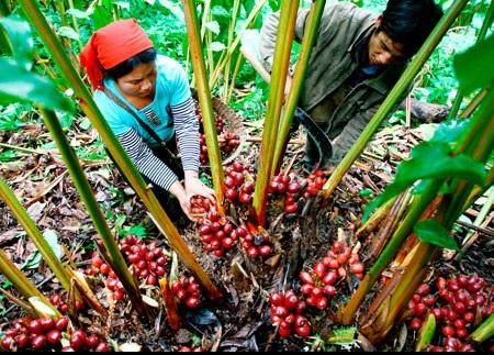 """""""Vàng đỏ"""" giúp đổi đời người dân Lai Châu - Ảnh 1."""